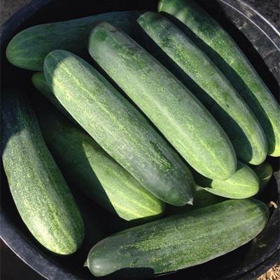 Hybrid Cucumber Niyamat