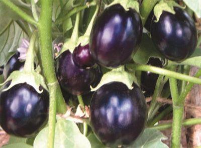 Black chu chu - Nagina (Hybrid)