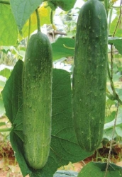 Vishwajeet (Open Pollinated)